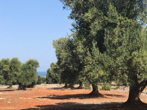 Terreno edificable en Carovigno